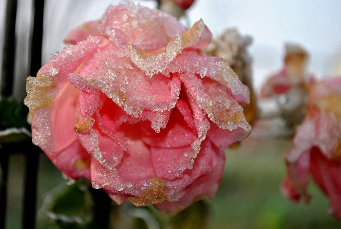 Die letzten Rosen holt sich der Winter