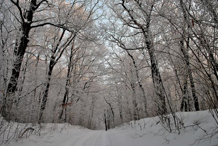 Fast scheint es, als wollten sich die Bäume der Schneelast beugen.