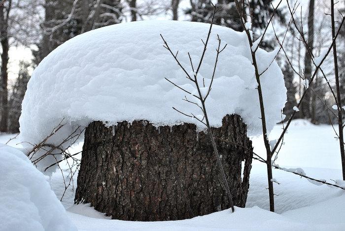 Sind Schneepilze essbar?