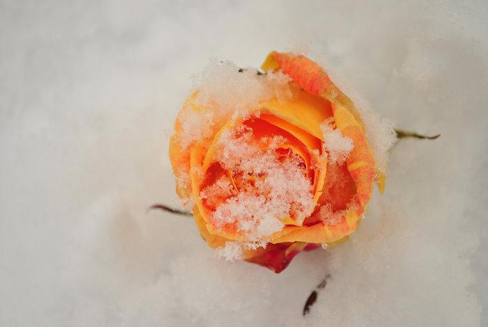 """Malerrose """"Cezanne"""" wird nun vom Schnee bemalt."""