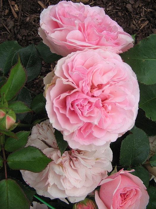 "Englische Rose ""Eglantyne"""