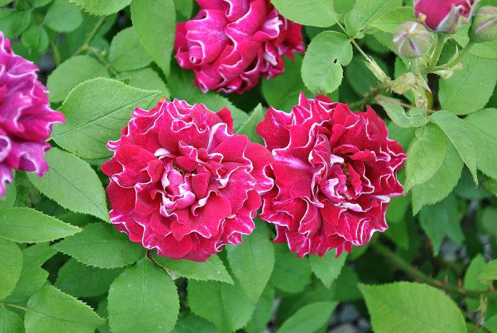 Die Rose - unumstrittene Königin der Blumen