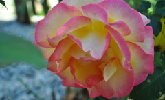 "Edelrose ""Double Delight"""